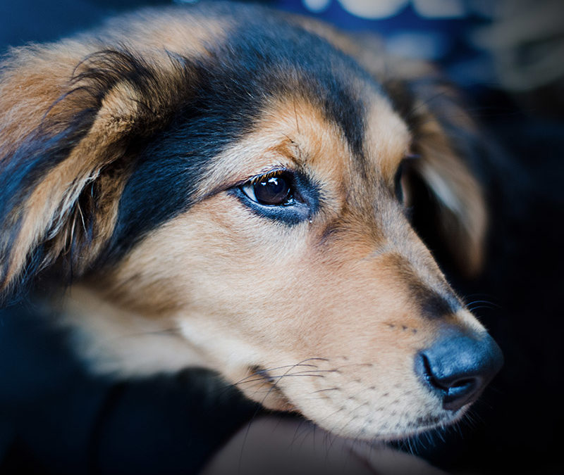 El estrés canino
